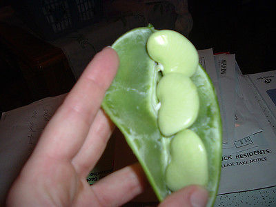 Bean Seeds - BIG MAMA LIMA Beans - Rare Heirloom Variety - 10 Non-Treated Seeds