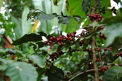 Coffee Plant Seeds - ETHIOPIAN DJIMMAH - Wild Grown - GMO FREE BEAN - 100+ Seeds