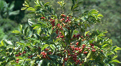Coffee Plant Seeds - JAVA ESTATE - GMO FREE - Tropical Plant - ONE POUND Seeds