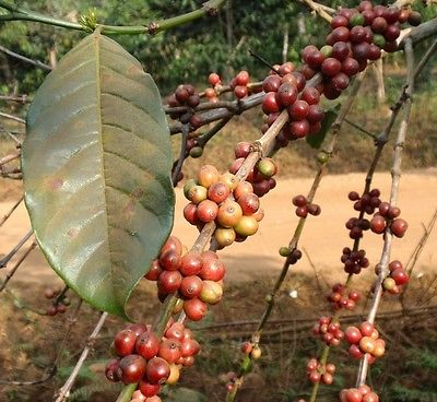 Coffee Bean Plant Seeds - INDIAN MONSOON MALABAR - Tropical Tree - 50 Seeds