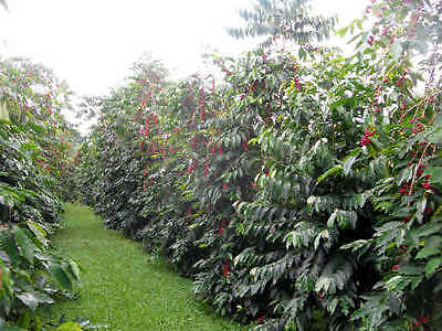 Coffee Bean Plant Seeds - HAWAIIA KONA - Great House Plant - 25 Seeds