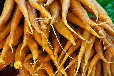 Carrot Seeds - YELLOW BUNCH - F1 Hybrid - A Big Hit with Children - 50 Seeds