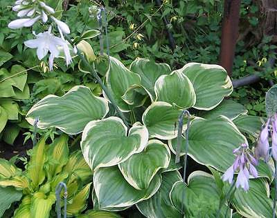 Hosta Plant - FRAGRANT DREAM - Shade Perennial - Deer Resistant - 2 Shoots