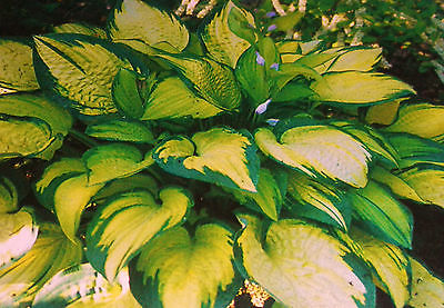 Hosta Plant - ORANGE MARMALADE - Shade Perennial - Rabbit Resistant - 2 Shoots