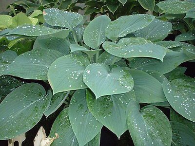 Hosta Plant - WHEATON BLUE - Great Container Plant - Shade Perennial - 2 Shoots