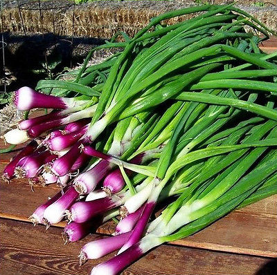 Onion Seeds - CRIMSON FOREST BUNCH - Allium Fistulosum - GMO FREE - 50 Seeds