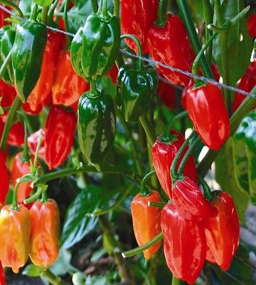 Hot Pepper Seeds - REY PAKAL - Hybrid Habanero Pepper - Gmo Free - 10 Seeds
