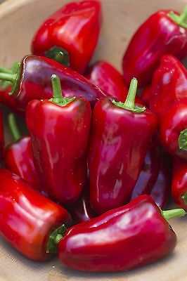 Hot Pepper Seeds - SWEET HEAT - Hybrid Hot Pepper - Gmo Free - 10 Seeds