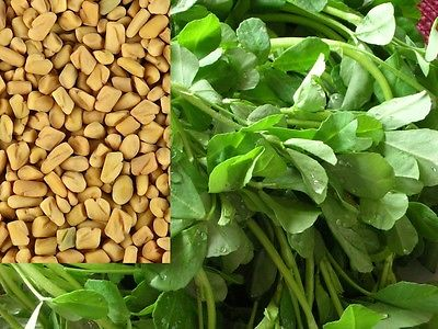 Fenugreek Seeds-Greek Hay-Herb and a Spice - theseedhouse -500+ Heirloom Seeds