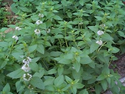 Spearmint Seeds - Leaves Impart Flavor to Drinks & Food  ✼◕ ‿ ◕✼  50+ Seeds