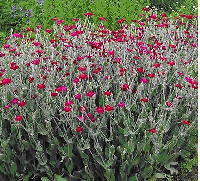 Rose Campion Seeds • Very Pretty Perennial Flower • Easy to Grow!! • 50+ Seeds •
